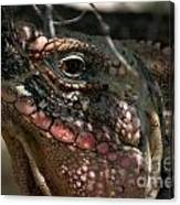Cyclura Cychlura Figginsi Iguana Endangered 2 Canvas Print