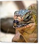 Cyclura Cychlura Figginsi Iguana Endangered Canvas Print