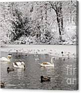 Cygnets In Winter Canvas Print