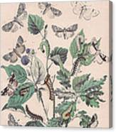 Cymatophoridae - Acronyctidae Canvas Print