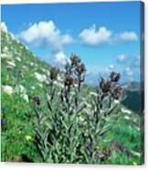 Cynoglossum Magellense Canvas Print
