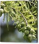Cypress Nuts Canvas Print