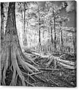 Cypress Roots In Big Cypress Canvas Print