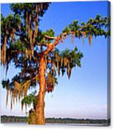 Cypress Tree Draped In Spanish Moss Canvas Print