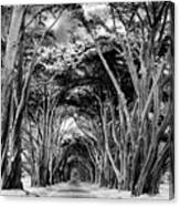 Cypress Tree Tunnel Point Reyes Canvas Print