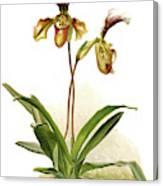 Cypripedium Hybridum Calypso, Sander Canvas Print