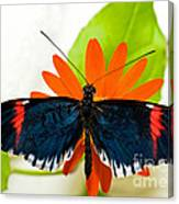 Cythera Butterfly Canvas Print