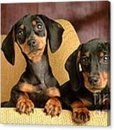 Dachshund Puppies Canvas Print