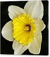 Daffodil 2014 Canvas Print