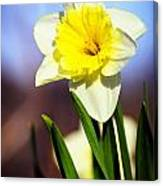Daffodil Blossom Canvas Print
