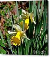Daffodil Buddies Canvas Print