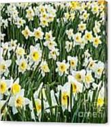 Daffodil Field 2 Canvas Print