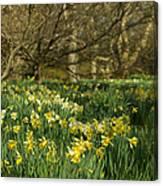 Daffodil Field Canvas Print