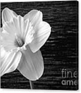 Daffodil Narcissus Flower Black And White Canvas Print