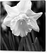 Daffodil Flower Black And White Canvas Print