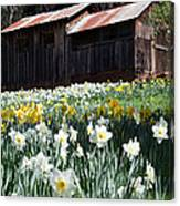 Daffodil Hill Canvas Print