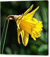 Daffodil - Impressions Canvas Print