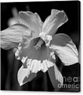 Daffodil In Black And White Canvas Print