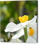 Daffodil In Profile Canvas Print