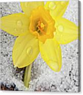 Daffodil In Spring Snow Canvas Print