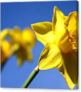 Daffodil Line Canvas Print