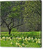 Daffodil Meadow Canvas Print