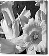 Daffodil Monochrome Study Canvas Print