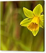 Daffodil - No. 1 Canvas Print
