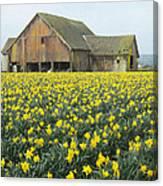 Daffodils And Barn Canvas Print