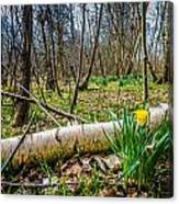 Daffodils And Birch Canvas Print