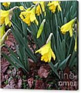 Daffodils In The Rain  Canvas Print