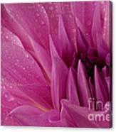 Dahalia In The Rain - 651 Canvas Print