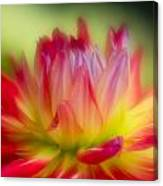 Dahlia Color Explosion Canvas Print
