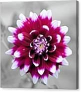 Dahlia Flower 2 Canvas Print