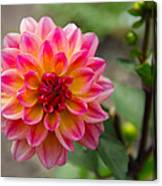 Dahlia In Full Bloom Canvas Print