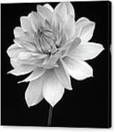 Dahlia In Gentle Shades Of Grey Canvas Print