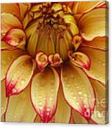 Dahlia Lady Darlene In Close Up Canvas Print