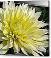 Dahlia Named Canary Fubuki Canvas Print
