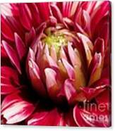 Dahlia Named Friquolet Canvas Print