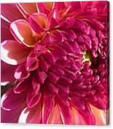Dahlia Pink 1 Canvas Print