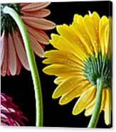 Dahlias Up-close Canvas Print