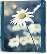 Daisies ... Again - 146a Canvas Print