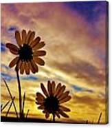 Daisies At Sundown  Canvas Print