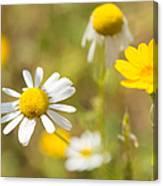Daisies On Summer Meadow Canvas Print