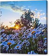 Daisies Sunset Canvas Print