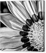 Daisy - Bw Canvas Print