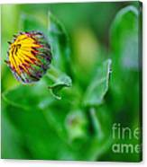 Daisy Bud Ready To Bloom Canvas Print
