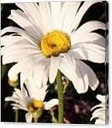 Daisy Close Up Canvas Print