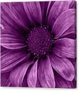 Daisy Daisy Grape Canvas Print