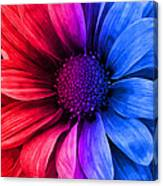 Daisy Daisy Red To Blue Canvas Print